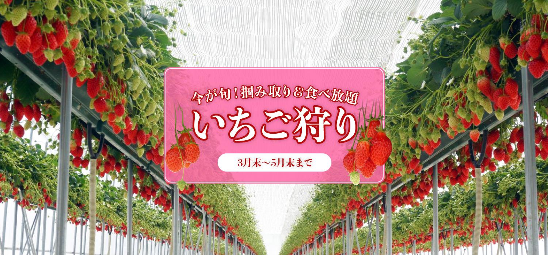〈30分食べ放題〉京丹後市でいちご狩り!